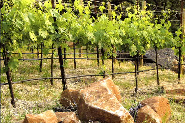 The vines that create the delicious wines at Oakville East in Napa Valley