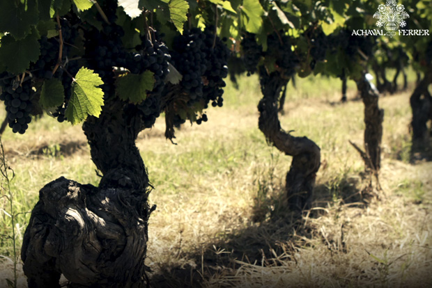 The stunning vines at Achaval-Ferrer in Argentina