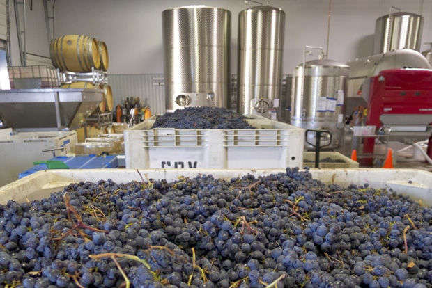 Sorting Grapes for a custom blend at the Wine Foundry