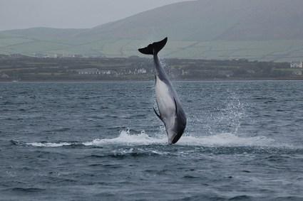 Fungie the Dolphin, Dingle, Ireland