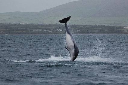Fungie the Dolphin, Dingle, Ireland