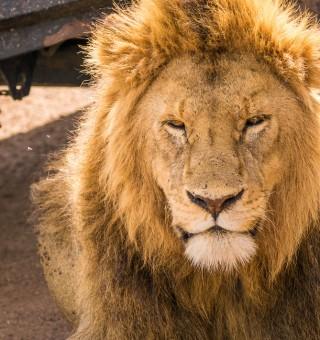 serengeti-lion