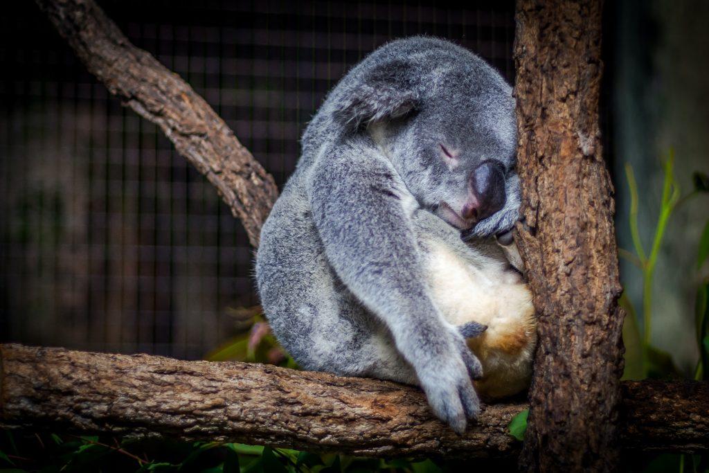 a koala sleeping in a treee