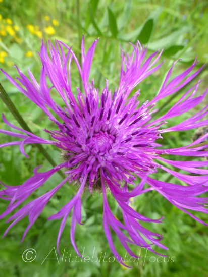 Alpine Knapweed in flower