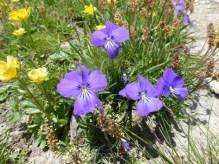 Alpine Pansy