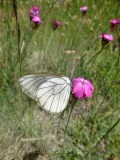 Black Veined White