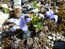 """According to my Swiss Alpine Club flora book, these are """"rather rare"""" !"""
