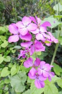 Some form of Honesty flower