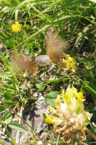 14 Hummingbird moth