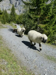 5 Valais Blacknose sheep