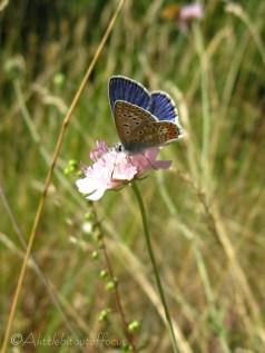 7 Common Blue