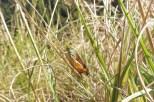 24-grasshopper