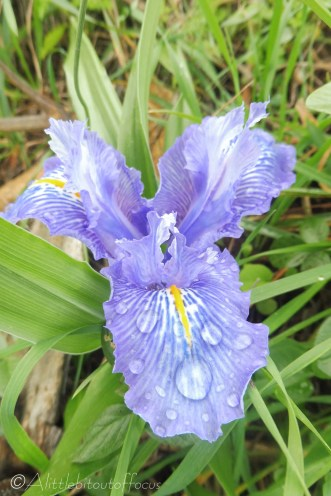 12-iris