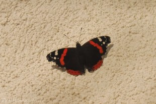 9-red-admiral