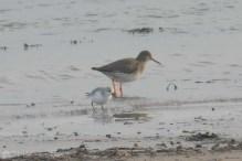 17-sanderling-and-redshank