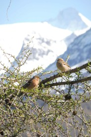 24 Chaffinch and Sparrow