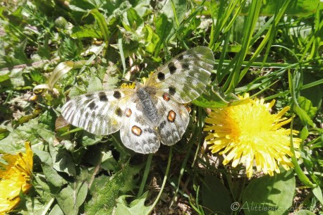 18 Apollo butterfly