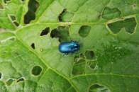 12 Blue Mint Beetle (I think)(1)