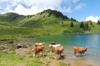 23 Paddling cows
