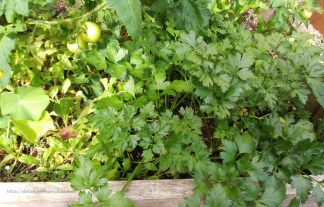 a robust italian parsley shares space with a tomato plant in a raised farmer's bed. 2016