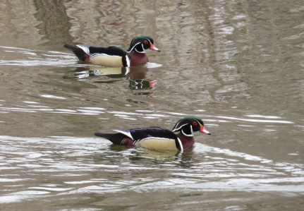 Until then...here you go: Wood Ducks, Gervais Mill Pond, Minnesota