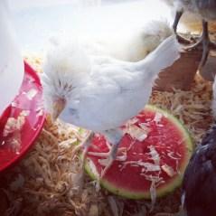 Opal loves watermelon