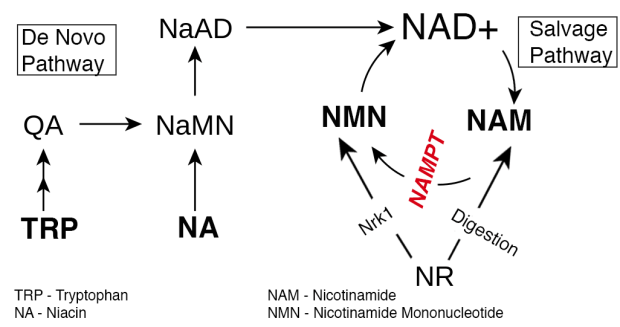 Image result for NAD salvage pathway