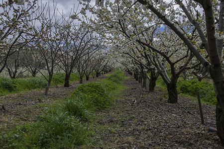 Cerejeiras em Flor 450