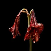 Two withered blooms 08/02/2016