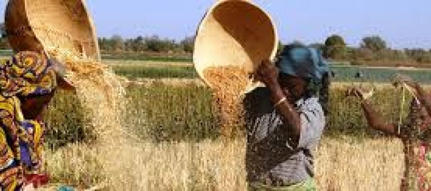 Irrigation: Wheat Farmers To Cultivate 20, 000 Hectares In Kano State