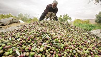 Photo of زراعة حماة تتوقع إنتاج 63 ألف طن من محصول الزيتون للموسم الحالي