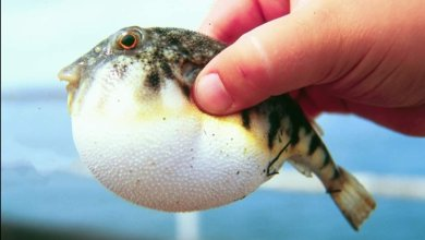 Photo of بعد الإصابات المتكررة بسمك البالون.. تعرف على أعراض التسمم الغذائي