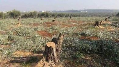 Photo of المسلحون يقطعون أشجار زيتون في عفرين المحتلة للاتجار بحطبها