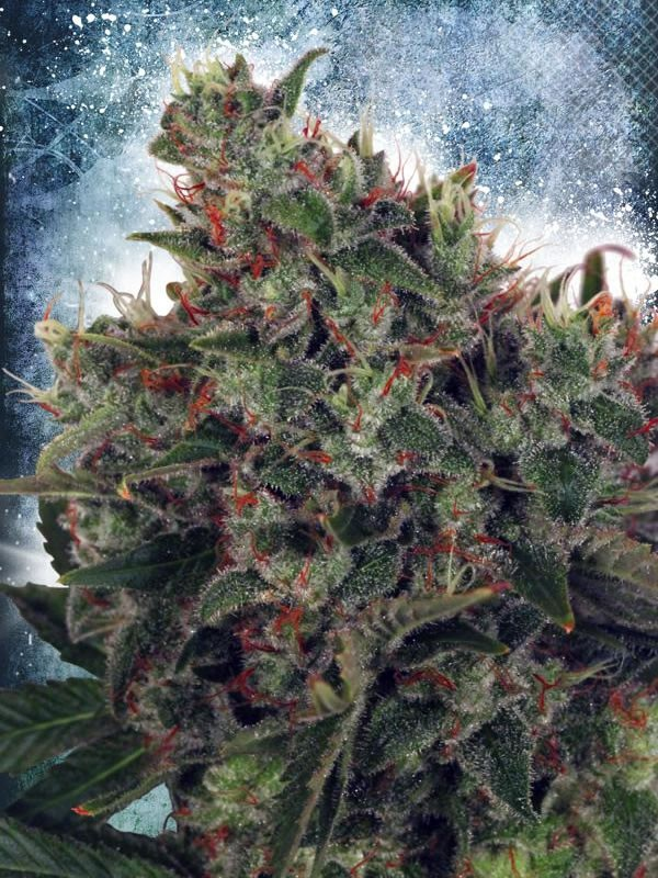 Ministry Cannabis Northern Lights