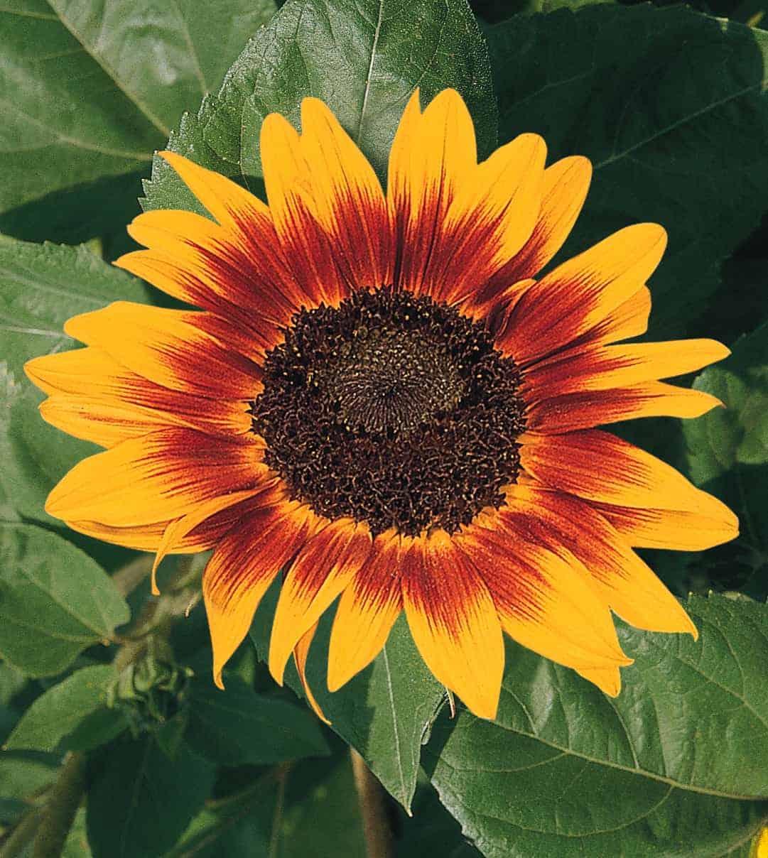 Sunflower Ring Of Fire