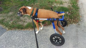 Dash the Boxer in his wheelchair with one rear foot flipped