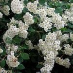 Spirea for landscaping