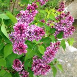 lilac for landscaping