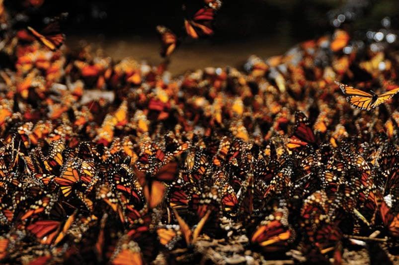 Amazing Natural Events Monarch Orange