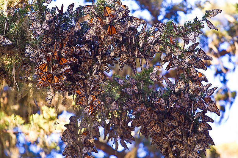 Amazing Natural Events Monarch  Migration