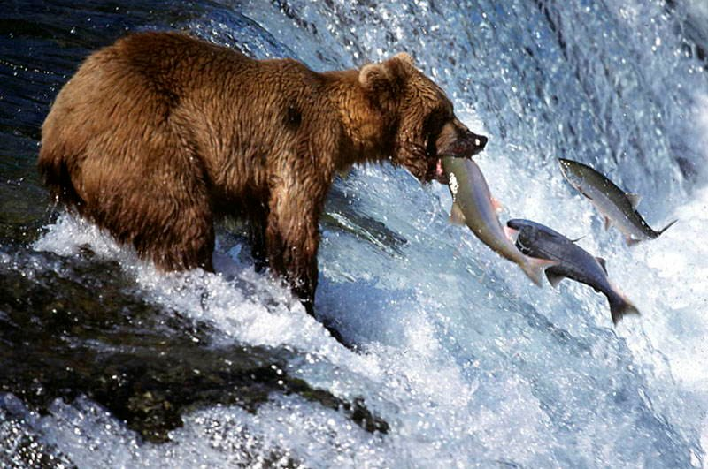 Amazing Natural Events Salmon Bear