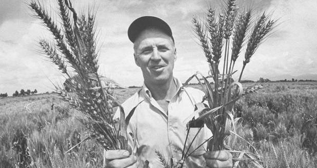Norman Borlaug with wheat strains