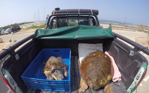 פקחי היחידה הימית שחררו היום בחוף ניצנים שני צבים – דויד ומיכאל