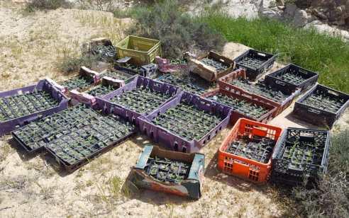 4 חממות לגידול קאנביס עם כ- 2,860 שתילים אותרו בשטחי אש בדרום