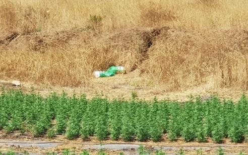 נחשפה חממת קנאביס שהכילה 2,600 שתילים בסמוך לבסיס פלוגות שבדרום הארץ – שווי הסמים מוערך בכ- 5 וחצי מיליון שקלים