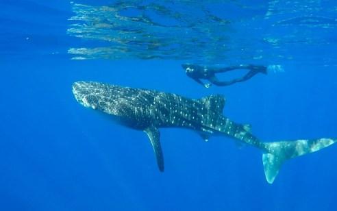 במסגרת איתור מלכודות דיג נטושות ולא חוקיות תועד כריש לוויתני נוסף במפרץ באילת