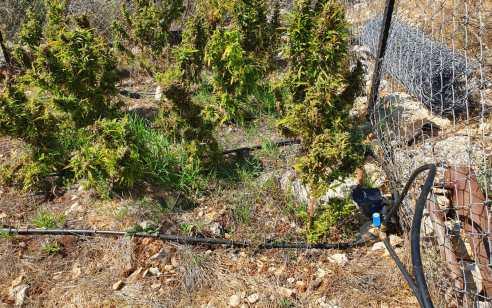 בלשי משטרה חשפו שטח לגידול קנאביס במיוערת ביישוב פאסוטה בצפון הארץ – החשוד בגידול נעצר