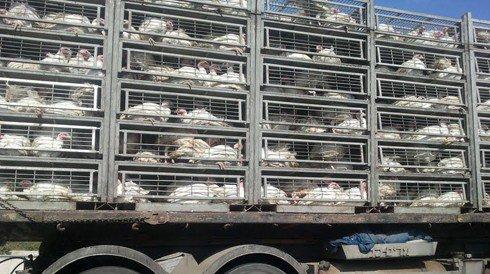 """""""התבלבלתי בדרך וגנבו לי אותם"""": נעצר חשוד בגניבת 1800 תרנגולות שיועדו לכפרות"""