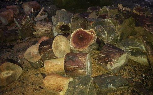 """ביום ט""""ו בשבט שבו כולנו עסוקים בנטיעות: עוכבו לחקירה חשודים מכפר עילוט שכרתו עשרות רבות של עצים באופן בלתי חוקי"""