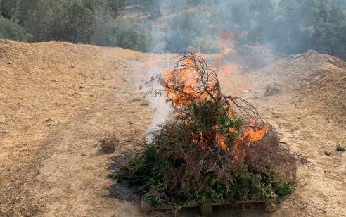 """שוטרי מג""""ב הביאו לתפיסה והשמדה של כ – 7,700 שתילי מריחואנה שגודלו בחממות לא חוקיות בשטחי אש בדרום"""